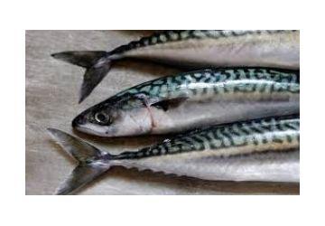 Lucebaits Mackerel