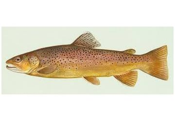 Lucebaits Trout Brown